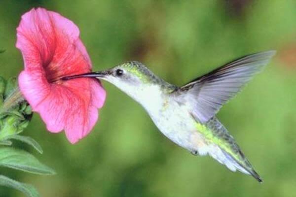 colibrí alimentación