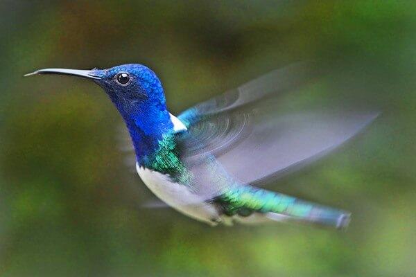 cómo vuela un colibri
