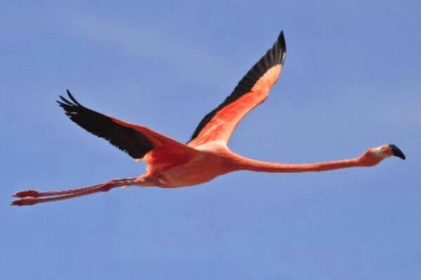 vuelo del flamenco