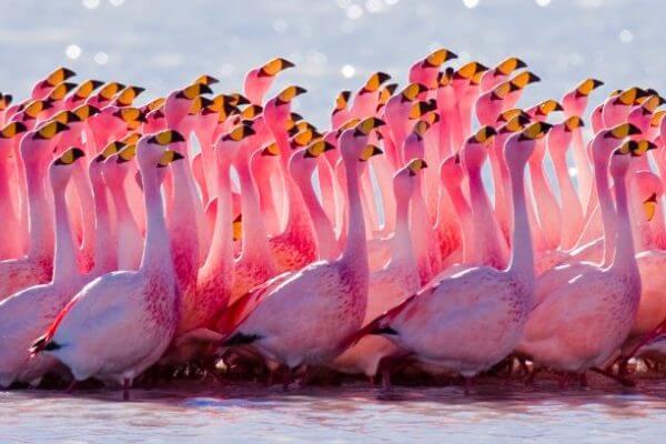 de qué color son los flamingos