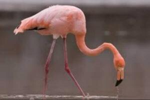 de qué se alimenta el ave flamenca