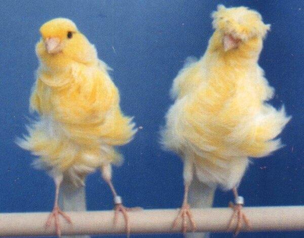 cómo es el canario padovano