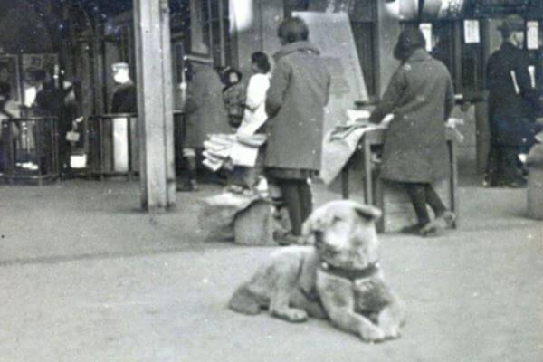 historia raza de perro akita