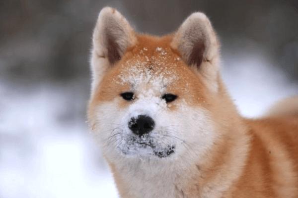 ¿el akita es un perro peligroso?