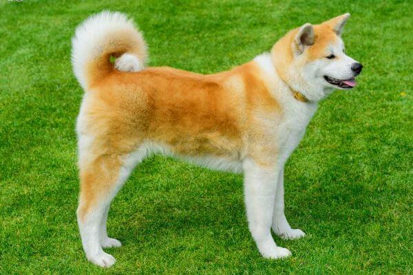 raza de perro akita