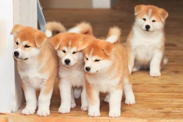 comprar cachorro akita