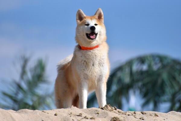 aspecto físico perro akita