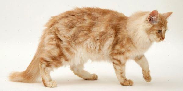 colores de gatos de angora