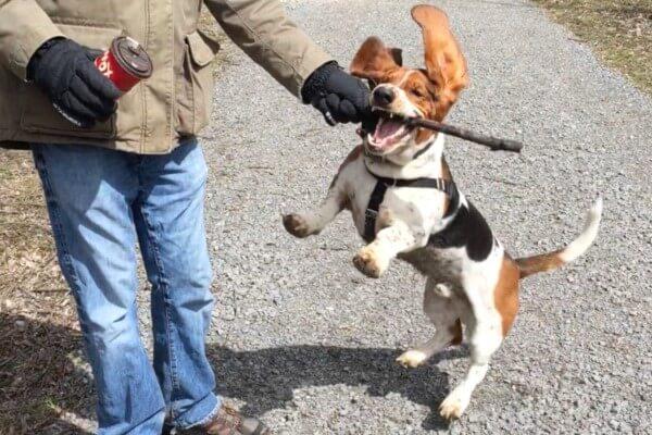 consejos para educar basset hound