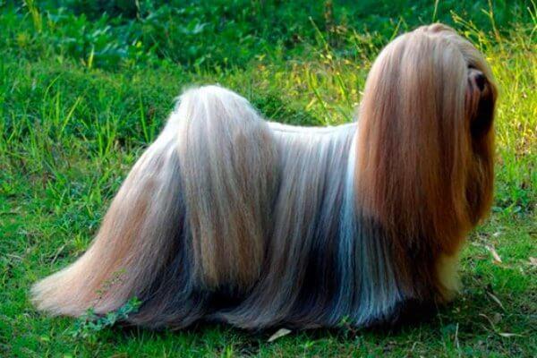 perro Lhasa apso