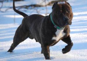 Staffordshire bull terrier negro