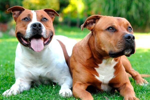 Staffordshire bull terrier blanco y marrón