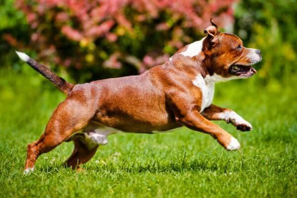cómo educar a un Staffordshire bull terrier