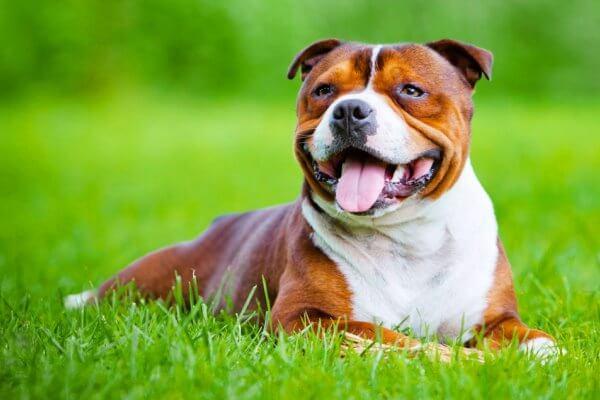enfermedades típicas de la raza Staffordshire bull terrier