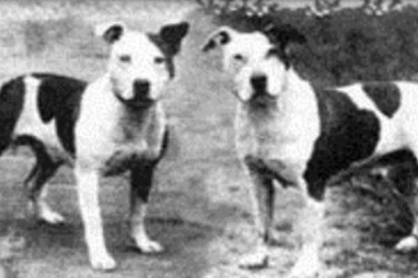 De qué país es el Staffordshire bull terrier
