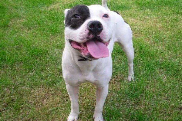qué personalidad tiene el Staffordshire bull terrier