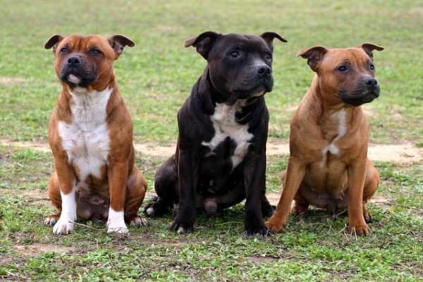 Staffordshire bull terrier actitud con otros perros
