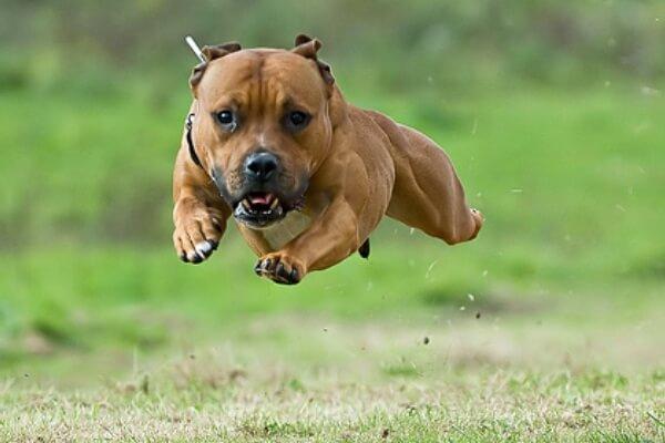 temperamento de la raza Staffordshire bull terrier