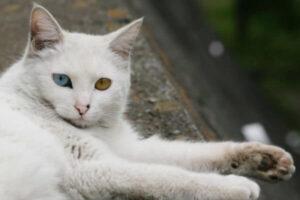 angora ojos de colores