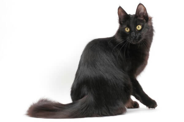 características gato angora negro
