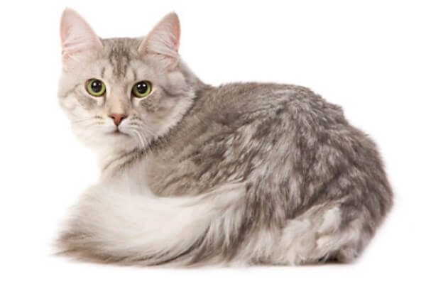 gato angora gris