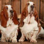 Origen raza basset hound