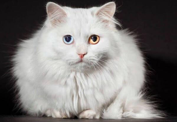 cuidados específicos raza de gato de angora