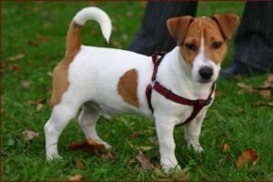 tamaño jack russell terrier