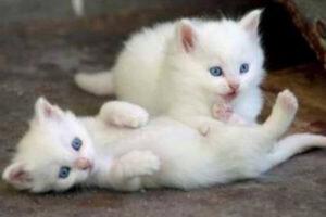 Adoptar gato bebé