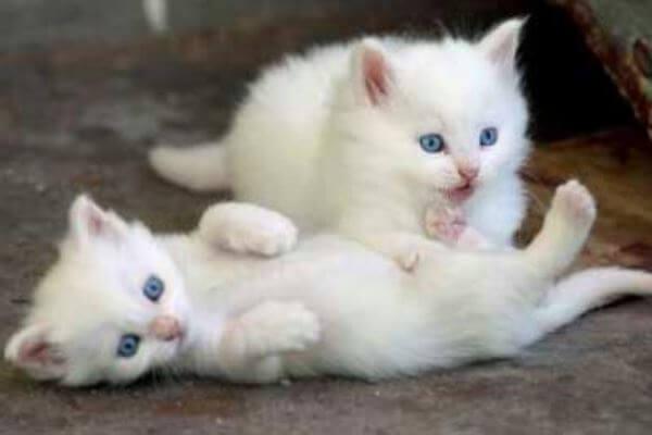 comprar gato angora