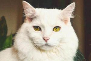 qué comportamiento tiene el gato angora
