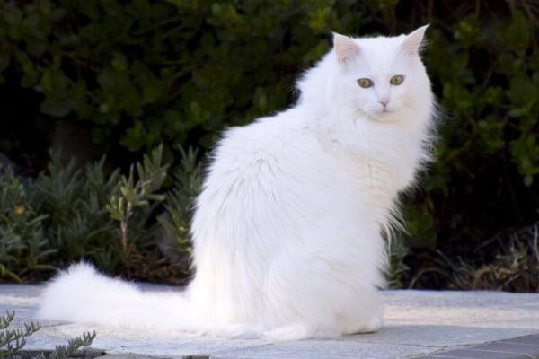 características físicas gatoangora