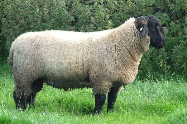 Características Físicas de la raza ovina Suffolk