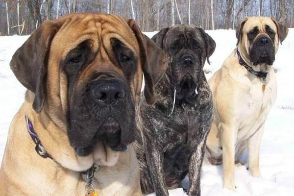 colores del perro mastif