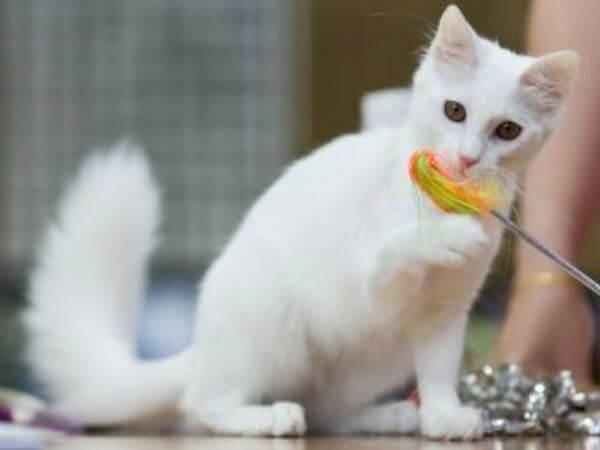 personalidad raza de gato angora