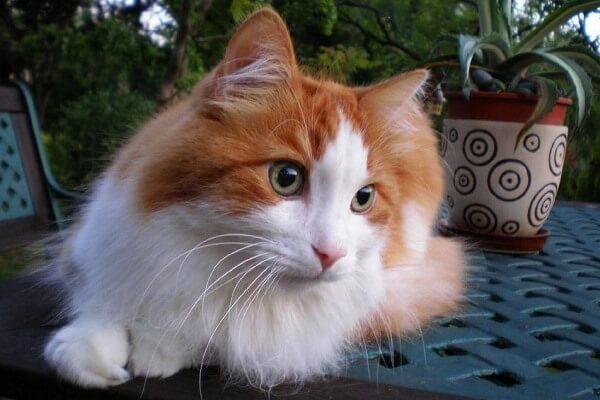 peso y tanaño gato angora