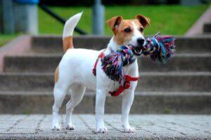 definición jack russell terrier