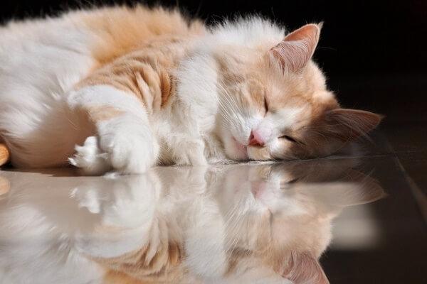 salud gato angora