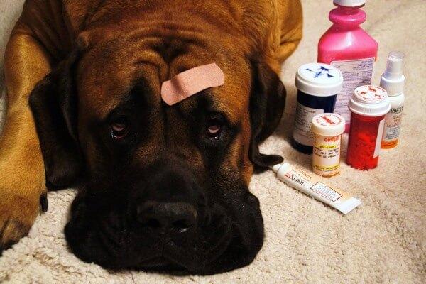 enfermedades típicas raza de perro mastiff