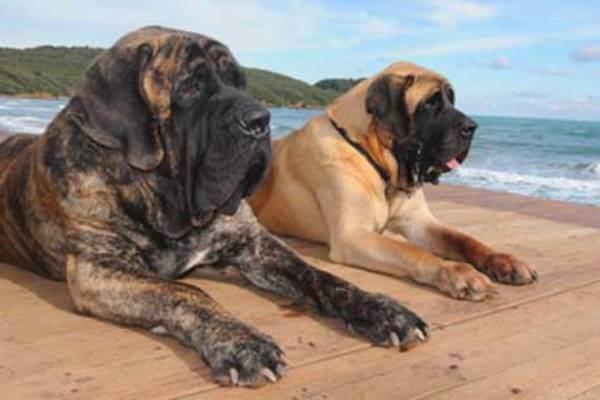 cómo es la raza de perro mastín inglés