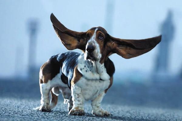 basset hound caracteristicas negativas