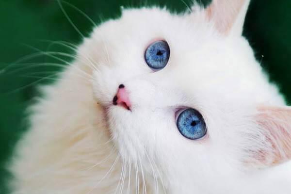 características gato angora blanco
