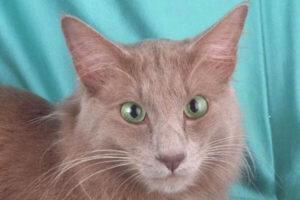 características gato angola lila