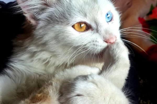 color de ojos gato angora