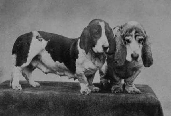 basset hound historia raza