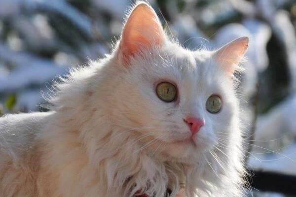 cuál es la historia del gato angora