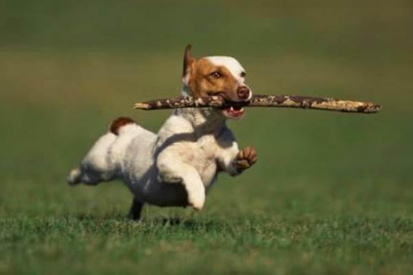 Comportamiento de la raza de perro Jack Rusell Terrier