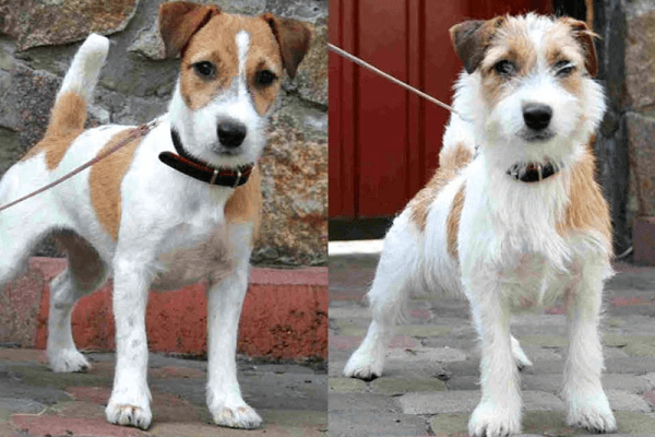 jack russell tipos