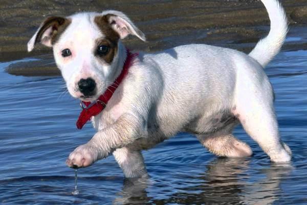 cuantos tipos de jack russell terrier existen