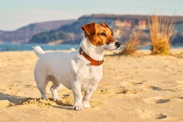 jack russell terrier mini carácter